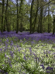 Henley on Thames bluebells